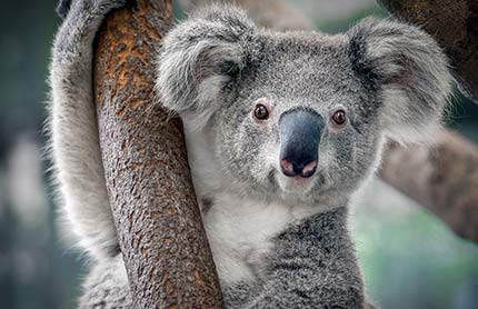 A close-up of a koala, looking directly at the camera.