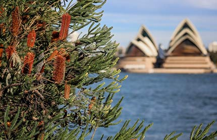 A view of the Sydney Opera House with a bottlebrush bush in the foreground.