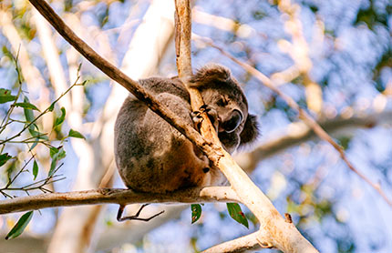 koala-sleeping-in-a-tree-430x278