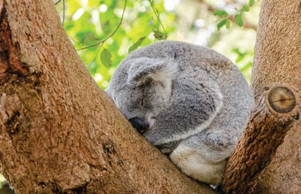 strategic conservation plan koala sleeping 430x278