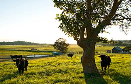 Cows standing in field with trees and small buildings in the distance