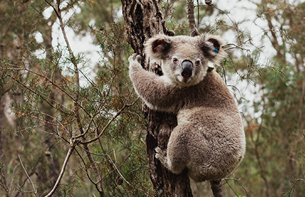 Koala in tree, Wollondilly Koala Project. Photo by Bear Hunt Photography / Save Our Species program